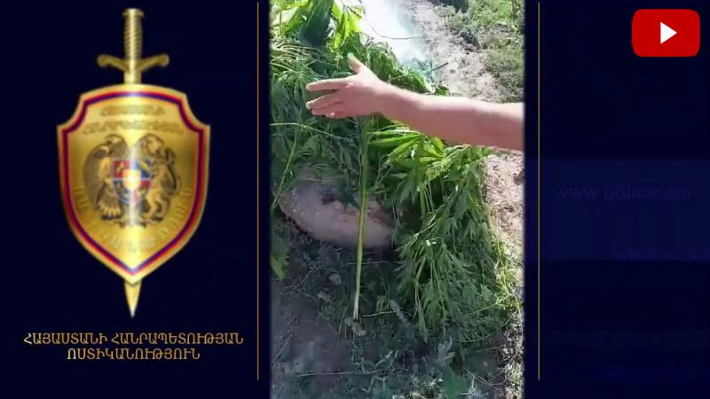 Օգոստոսի 22-ից 24-ը հայտնաբերվել և այրելով ոչնչացրել են 4 տոննա 63 կիլոգրամ կանեփ (տեսանյութ)