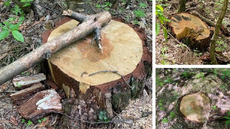 Բազմաթիվ հատված ծառեր Ստեփանավանի անտառում․ Հայկական բնապահպանական ճակատ
