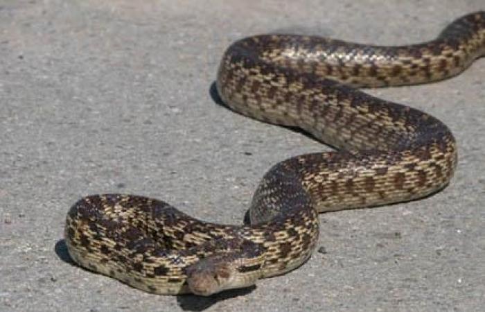 Երևանում և Զովունիում հայտնաբերված օձերը տեղափոխվել են անվտանգ տարածք
