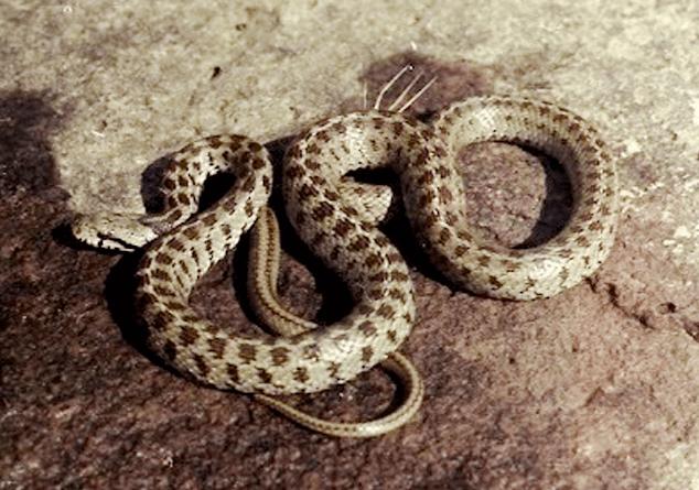Փրկարարները անվտանգ տարածք են տեղափոխել Երևանում և Առինջում հայտնաբերված օձերին