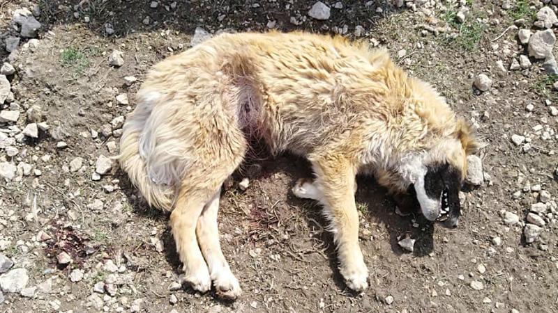 «Երկուսին թույնել են, մեկի փորը դանակով բացել». դաժան հաշվեհարդար կենդանիների հանդեպ