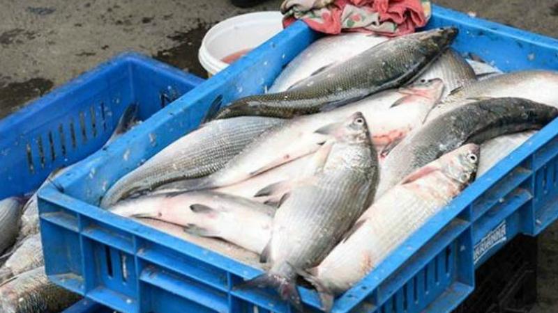 ԲԸՏՄ և ոստիկանության աշխատակիցներն առգրավել են 794 հատ սիգ տեսակի ձուկ