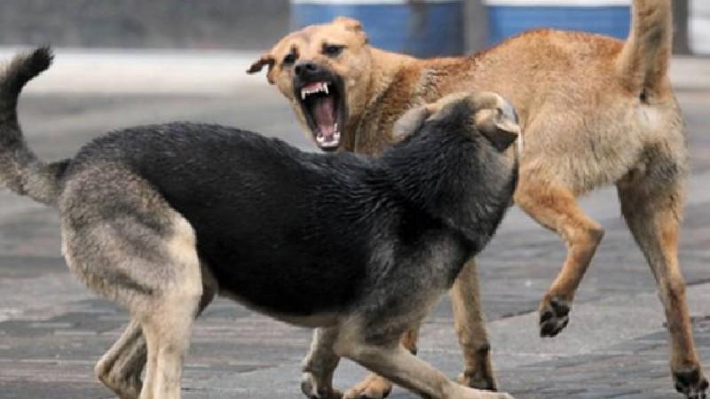 Արագածոտնում թափառող շները հարձակվել են 84-ամյա կնոջ վրա. վերջինս մահացել է