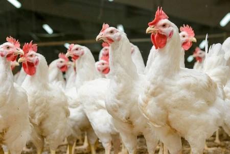 Ջրաշենցու անասնագոմում հայտնաբերվել է մոտ 100 հոշոտված հավ