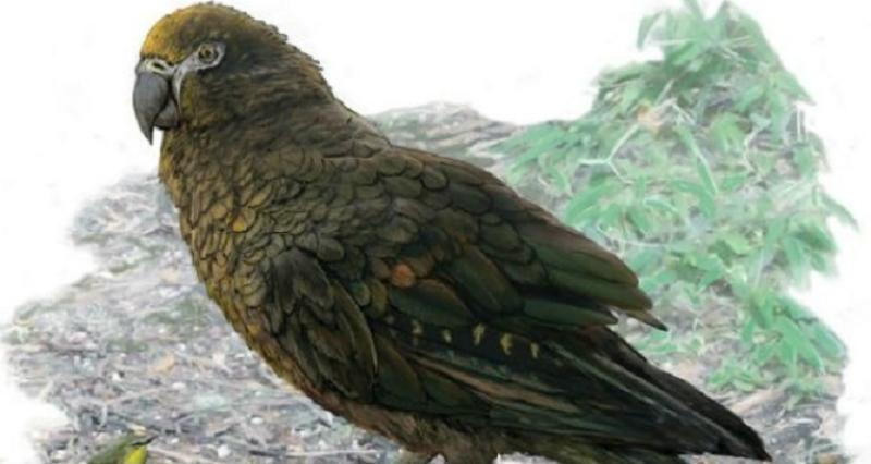 Նոր Զելանդիայում մարդու կես հասակի հասնող թութակի մնացորդներ են հայտնաբերվել
