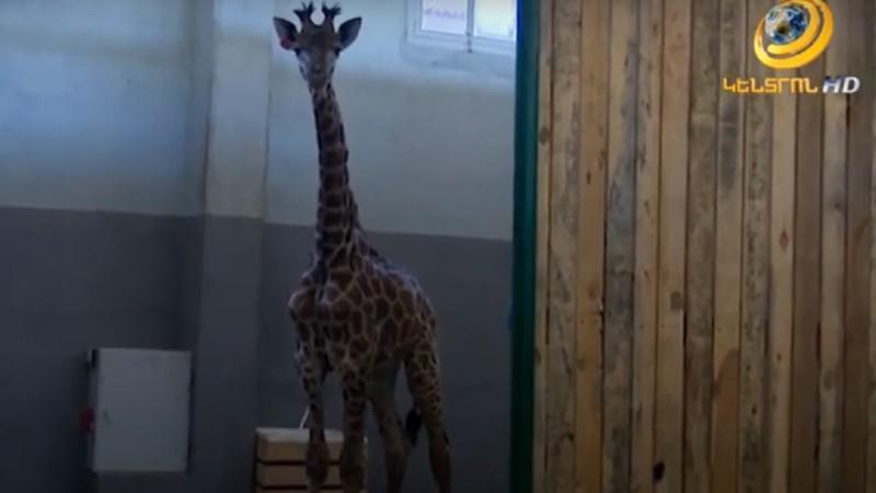 Ծառուկյան ընտանիքը կենդանաբանական այգուն կնվիրի Աֆրիկայից բերված ընձուղտ (տեսանյութ)