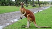 В Австралии кенгуру перескочил через мчащегося велосипедиста (видео)