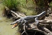 Туристы сняли на видео, как плавают с огромными крокодилами