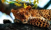 В Индии удирающий от леопарда полицейский спрыгнул с крыши (видео)