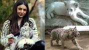 Համացանցում տարածվող լուսանկարի սպիտակ վագրը չի պատկանում Գագիկ Ծառուկյանին. «Zoo Fauna Ar...