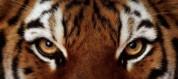 Սատկել է Երևանի կենդանաբանական այգու ամուրյան վագրերից արուն՝ Նոբելը