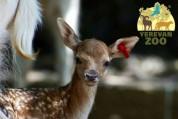 Երևանի կենդանաբանական այգին նոր բնակիչներ ունի, ծնվել է 4 եղջերու