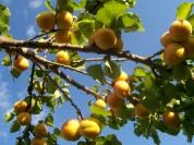 Մասնագետները հերքում են վարակված ծիրանի բերքի առկայության մասին լուրերը