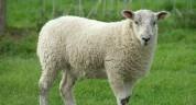 2019-2023թթ. ոչխարաբույծների համար կենդանիների գինը կէժանանա
