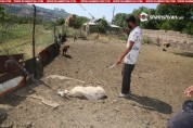 Քանաքեռավանի բնակիչը առավոտյան ոչխաների մի մասը վնասված ու հոշոտված է գտել (լուսանկարներ)