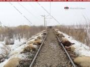 Արտակարգ դեպք Արարատում. գնացքը վրաերթի է ենթարկել ոչխարի հոտը. 140 ոչխար տեղում սատկել է