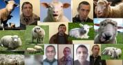 Կեղծ փողերով գառ ու ոչխար ձեռք բերողների «հաղթարշավը» կասեցվեց (տեսանյութ)