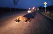 Հրազդանի մոտ 2 մեքենա բախվել է ձիու. մեքենաներից մեկը սահել է ձորը. կան տուժածներ