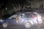 ԱՄՆ-ում արջը մտել է ավտոմեքենայի մեջ ու չի կարողացել դուրս գալ (տեսանյութ)