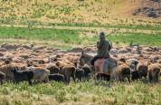 Հայաստան-Վրաստան սահմանին կայծակը սպանել է հովվին ու տասնյակ ոչխարների
