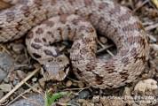 Հայտնաբերվել է սահնօձ տեսակի օձ