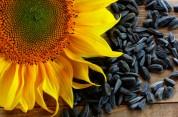 Արևածաղկի սերմերի օգտակար հատկությունները