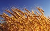 Այս տարի Արցախում ցորենի որակն ավելի բարձր է. Արամ Մխոյան