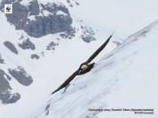 Ինչո՞վ է սնվում մորուքավոր անգղը. WWF Armenia-ն լուսանկար է հրապարակել