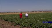 Շիրակում կարտոֆիլի և հացահատիկի առատ բերք են ակնկալում. գյուղնախարարություն (տեսանյութ)