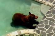 ԱՄՆ-ում արջը մտել է տներից մեկի լողավազանը՝ շոգից փրկվելու համար (տեսանյութ)