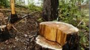 Ապօրինի ծառահատման դեպք Ստեփանավանում. Պուշկինոյի անտառից բոխի տեսակի ծառեր են հատվել