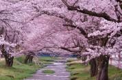 Ճապոնիայում ծաղկել է սակուրան