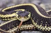 Փրկարարները բռնել են 1 գյուրզա, 1 շահմար, 1 սահնօձ և 1 չպարզված տեսակի օձ