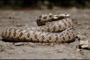 ԱԻՆ  ազգային կենտրոնում ահազանգեր են ստացվել հանրապետության տարբեր տարածքներում նկատված օձ...