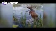 Ինչպես են կովերին լողացնում Ադրբեջանում (տեսանյութ)