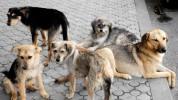 Ձեռնարկված միջոցառումների արդյունքում Մալաթիա Սեբաստիա վարչական շրջանից ավելի քան 30 շուն ...