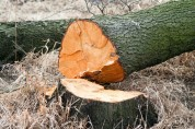 Դիլիջանի անտառներից ապօրինի հատել է 2 բոխի թաց կանգուն ծառ. Ճանապարհին բռնվել է