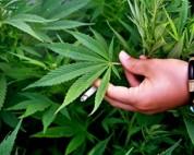 Ոստիկանները Արմավիր գյուղում կանեփի բույսեր են հայտնաբերել
